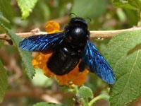 Древесная пчела