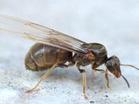 Крылатый муравей