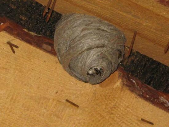 Осиное гнездо под крышей