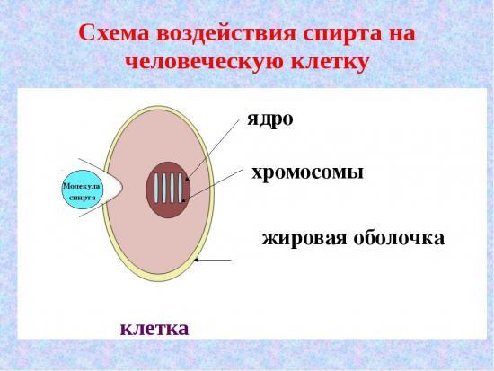 Воздействие спирта на клетки