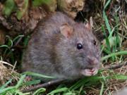 Крыса на огороде